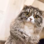 ジーっとこっちを見てるライオンカットのオス猫(スコティッシュフォールド)